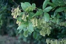 Arborele-piscidia (Piscidia piscipula)