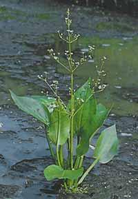 Brancarita (Alisma plantago-aquatica)