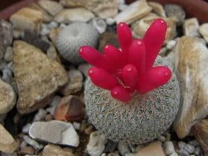 Chilito (Epithelantha micromeris)