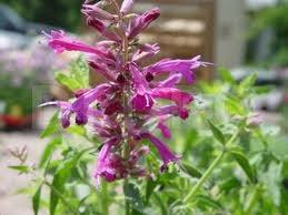 Iarba-tantarilor (Agastache cana), Floarea