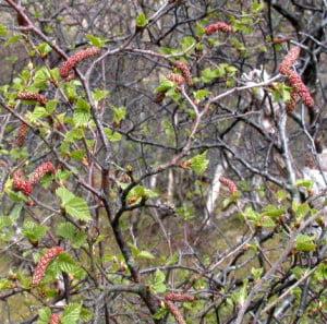 Mesteacanul-pufos, Betula pubescens