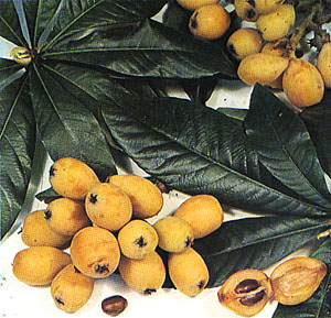Mosmonul-de-lana (Eriobotrya japonica)
