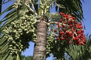 Palmierul Areca (Areca catechu)