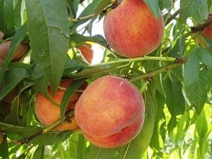 Prunus persica, Piersica