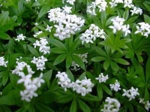 Vinarita - Galium odoratum