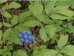 Afinul-indian (Caulophyllum thalictroides), Fructele