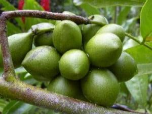 Arborele Ylang-ylang (Cananga odorata), Fructele