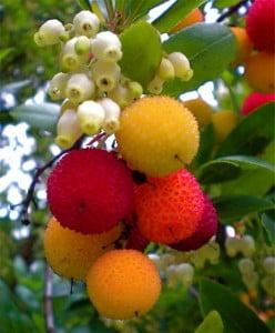 Arbustul de capsun (Arbutus unedo)