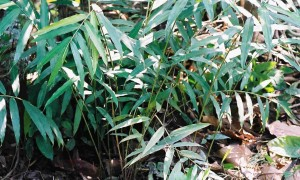 Grauntele-paradisului (Aframomum melegueta), Planta