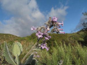 Iarba-sfanta (Eriodictyon californicum)