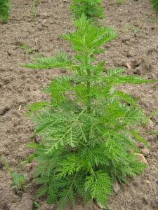 Iarba-viermilor (Artemisia cina)