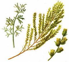 Iarba-viermilor, Artemisia cina