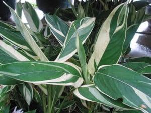 Maranta (Maranta arundinacea)
