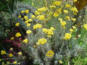 Nemuritoarea (Helichrysum italicum)