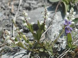 Polygala vulgaris varianta oxyptera