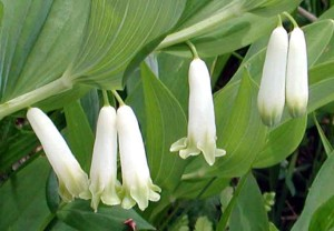 Pecetea-lui-Solomon polifoliara, Polygonatum multiflorum