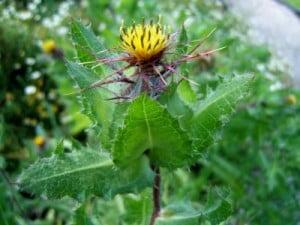 Schinelul (Cnicus benedictus)