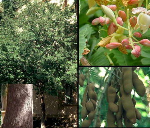 Tamarindul (Tamarindus indica)