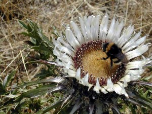 Turta (Carlina acaulis)