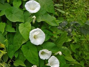 Volbura-mare (Calystegia sepium)