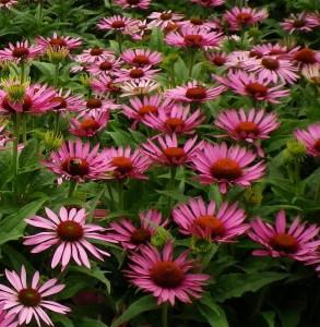 Echinacea (Echinacea purpurea), Foto: shehynursery.blogspot.com