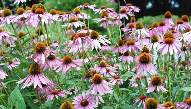 Echinacea angustifolia, Foto: naturenorth.com