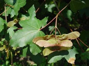 Jugastrul (Acer campestre)