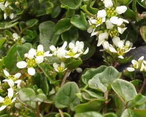 Lingurea-Cochlearia-officinalis-1-300x258.jpg