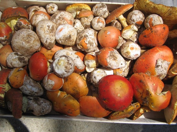Craite sau buretele domesc (Amanita caesarea), Foto: funghinelsalento.blogspot.com
