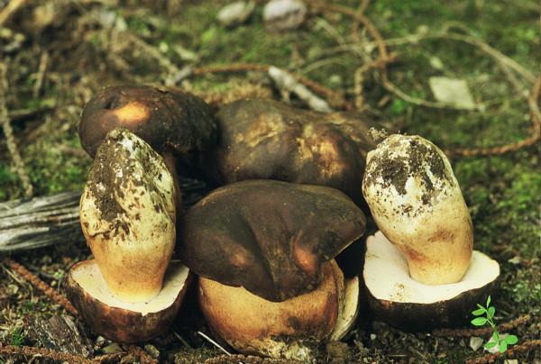 Hribul pucios (Boletus aereus), Foto: hongosgalicianportugal.blogspot.com