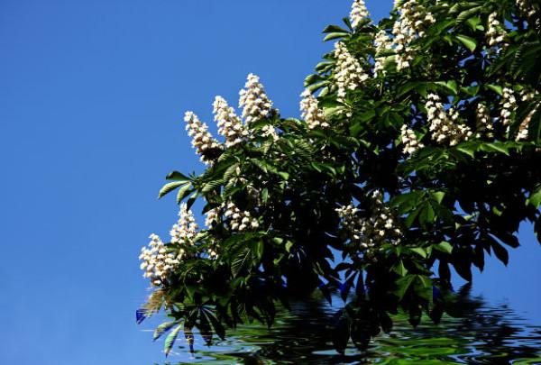 Castanul Aesculus hippocastanum inflorit