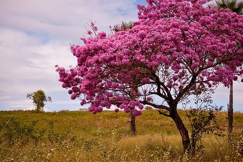 Arborele Lapcho, Foto: forevernaturesremedies.blogspot.ro
