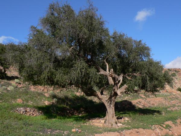 Arborele Argania spinosa, Foto: dedicatedforever.blogspot.ro