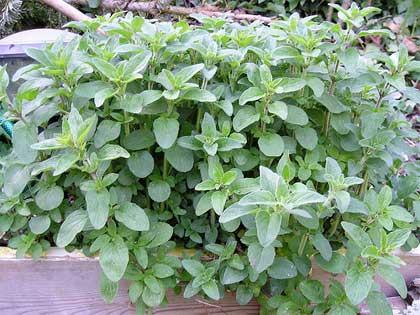 Planta Origanum vulgare, Foto: florablog.it