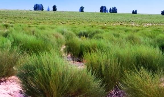 Arbustul Rooibos