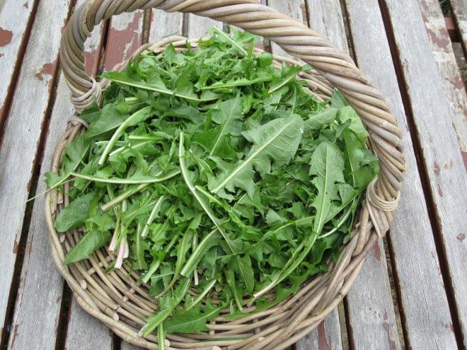 Frunze de papadie, Foto: myrobalanclinic.files.wordpress.com
