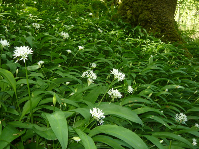 Planta Allium ursinum, Leurda, Foto: naturellementbio.wordpress.com