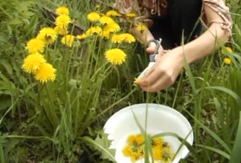 Culegerea florilor de papadie