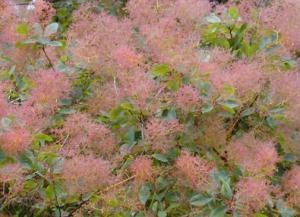 Scumpia (Cotinus coggygria), Foto: treeseedonline.com