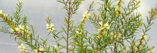 Arbore de ceai, Foto: masturakhazali.blogspot.ro