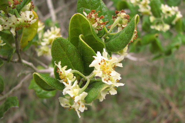 Arborele Boldo - Peumus boldus, Foto: lookfordiagnosis.com