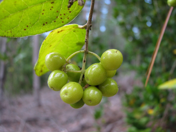 Fructele arborelui Boldo, Foto: zoom50.wordpress.com