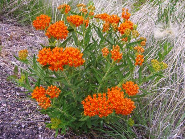 Iarba fluturilor, iarba fiarelor, Asclepias tuberosa, Foto: wildflower.org