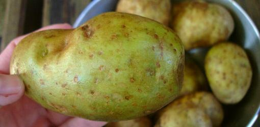 Salonina din cartofi este toxică, Foto: asterisk.apod.com