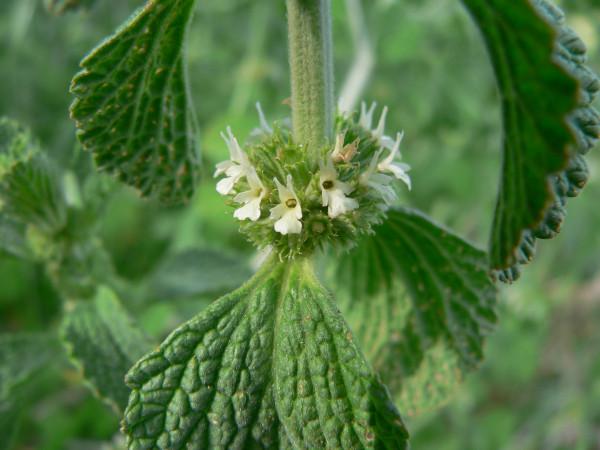 Ungurașul (Marrubium vulgare), Foto: ethnobiomed.com