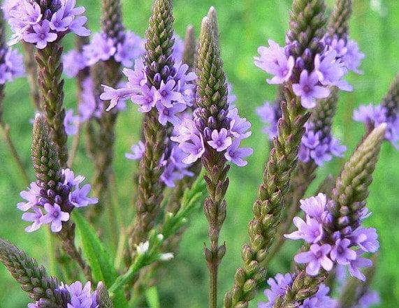 Verbena, Foto: votanakaifisi.blogspot.ro