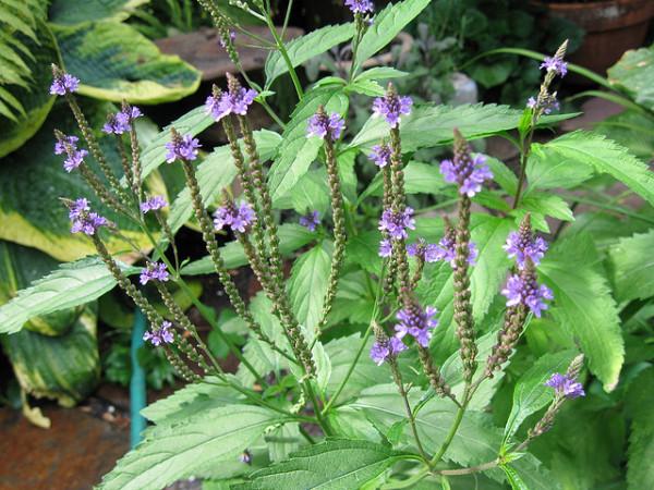 Verbena officinalis, Foto: votanakaifisi.blogspot.ro