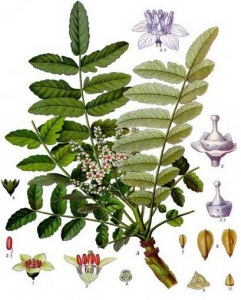Arborele Boswellia serrata, Foto: imgarcade.com