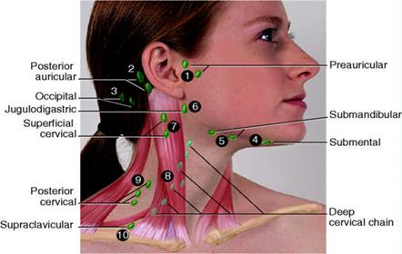 Locul de amplansare a ganglionilor limfatici, Foto: nursing-help.com