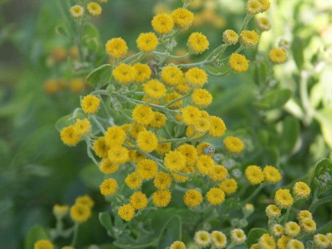 Calapăr, plantă ierboasă folosită îns cop dermatologic, aromatic și ornamental, Foto: biblio.tu-bs.de